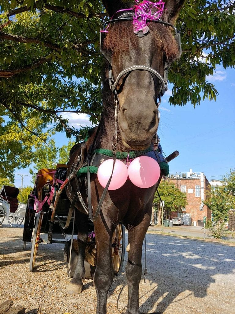 Horse Drawn Carriage Rides for Breast Cancer Awareness Month